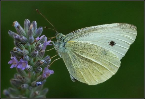 Nikon-D2x-Sigma-180mm-Butterfly